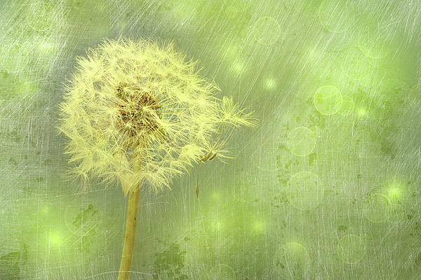 Closeup Of Dandelion With Seeds Print by Sandra Cunningham