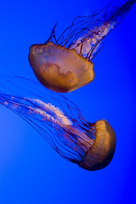 Closeup Of Two Captive Jellies Print by Tim Laman