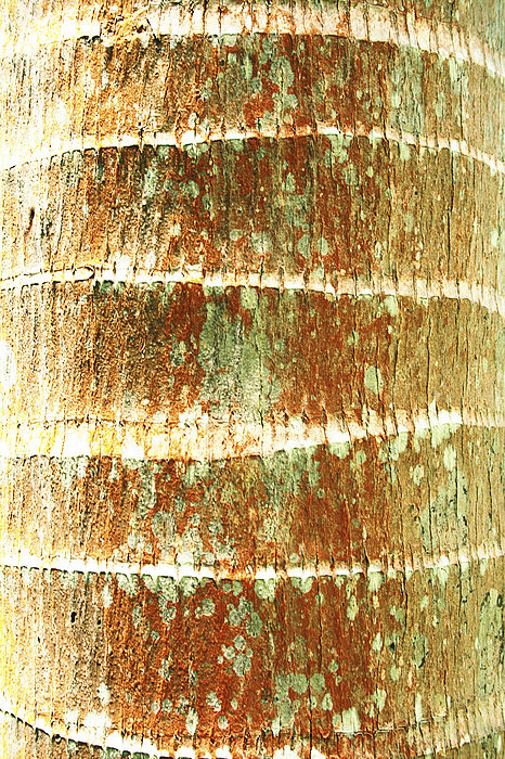 Coconut Palm Bark 2 Print by Brandon Tabiolo - Printscapes
