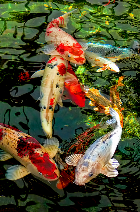 Colorful Japanese Koi Fish By Jennie Marie Schell