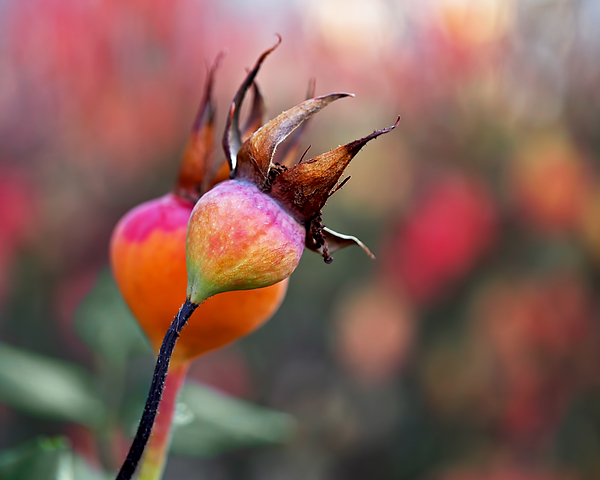 Colorful Rose Hips Print by Rona Black