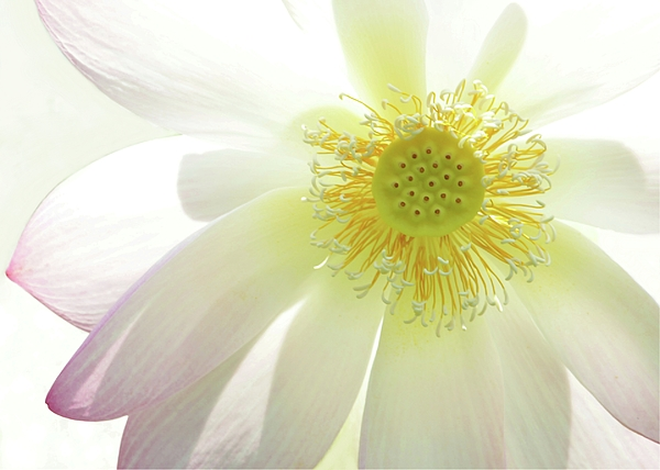 Cool Lotus Print by Sabrina L Ryan