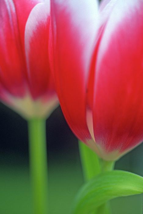 Crimson Tulips Print by Kathy Yates