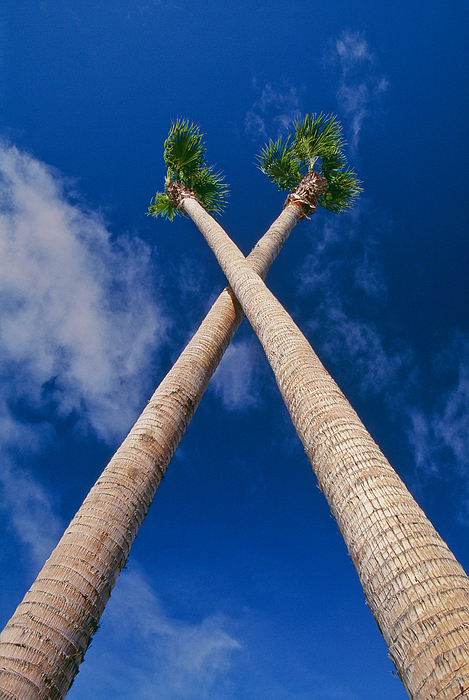 Crossed Palm Trees Print by Rich Iwasaki