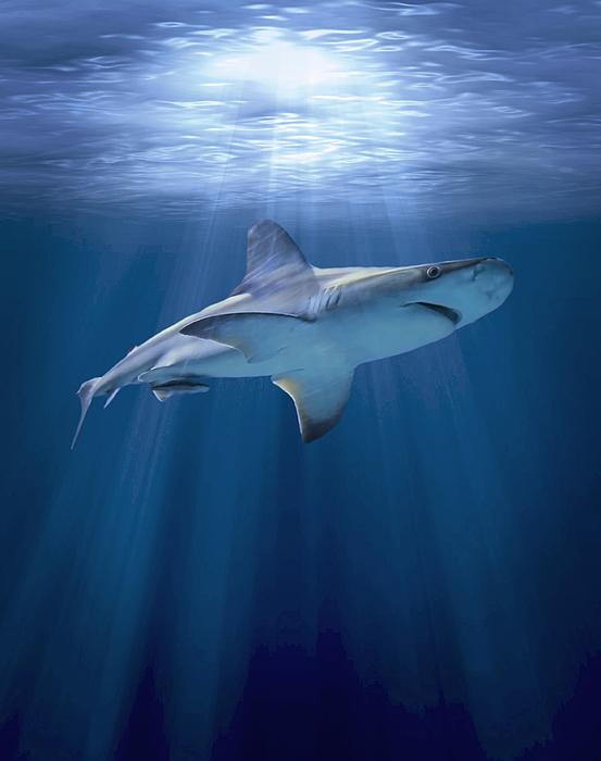 Cruising Shark Print by Liz Molnar