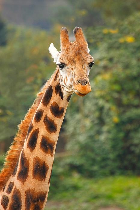 Curious Giraffe Print by Naman Imagery