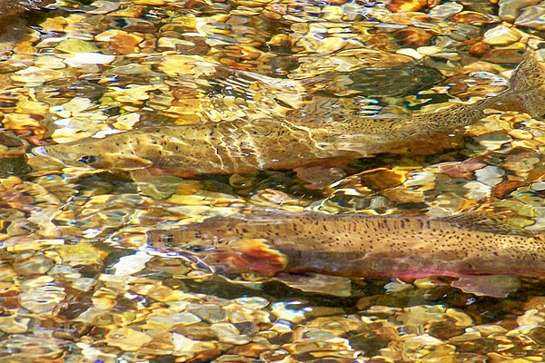 Cutthroat Trout In Clear Mountain Stream Print by Greg Hammond