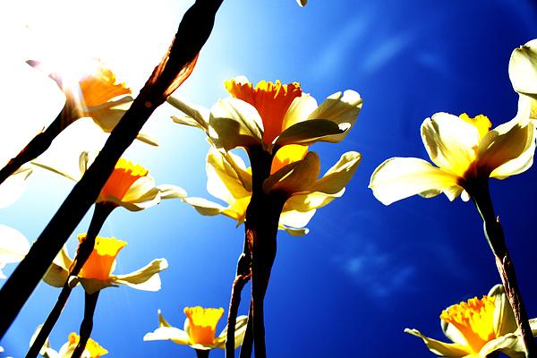 Daffodil Print by Nathan Grisham