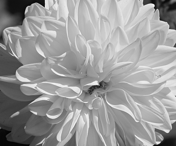 Beverly Canterbury - Dahlia Black and White