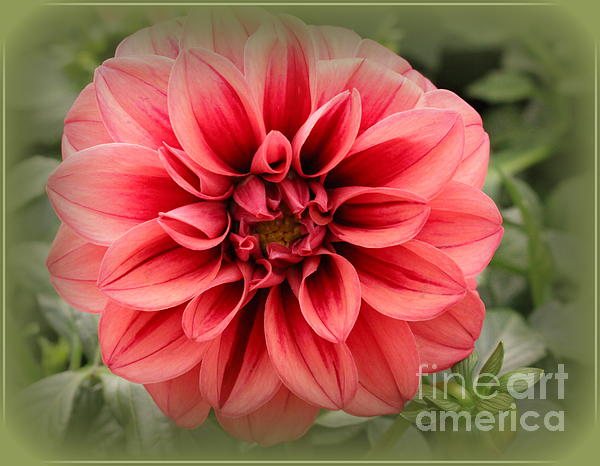 Photographic Art and Design by Dora Sofia Caputo - Dahlia lovely in Coral and Stripes