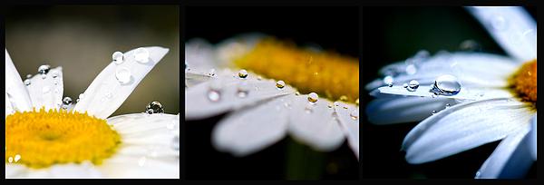 Daisy Water Drops Triptych Print by Lisa Knechtel