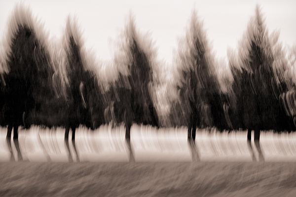 Dancing Pines Print by Carol Leigh