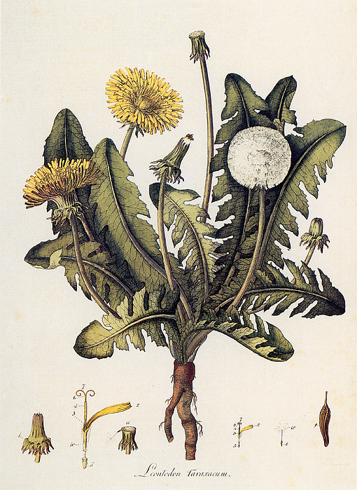 Dandelion Print by Granger