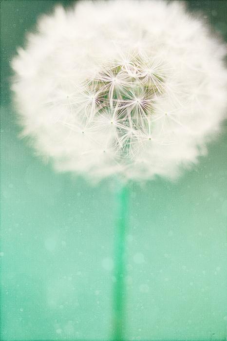 Dandelion Seed Print by Kim Fearheiley