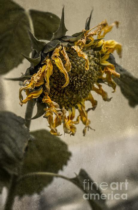 Carlos Caetano - Dead Sunflower