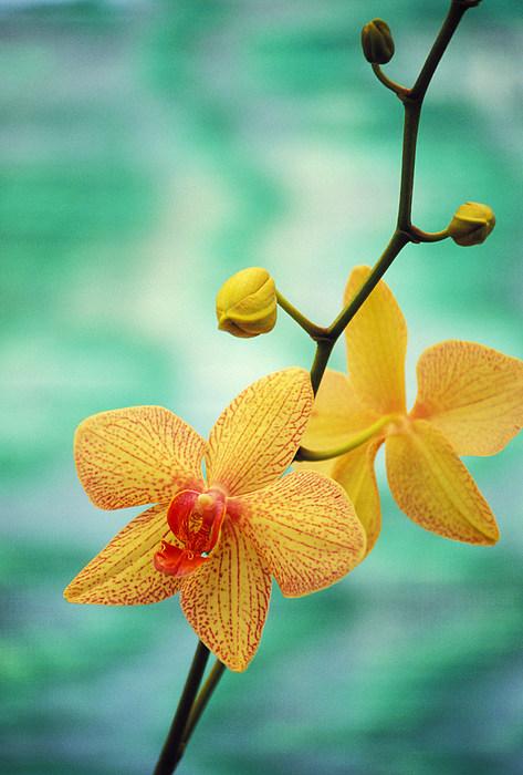 Dendrobium Print by Allan Seiden - Printscapes