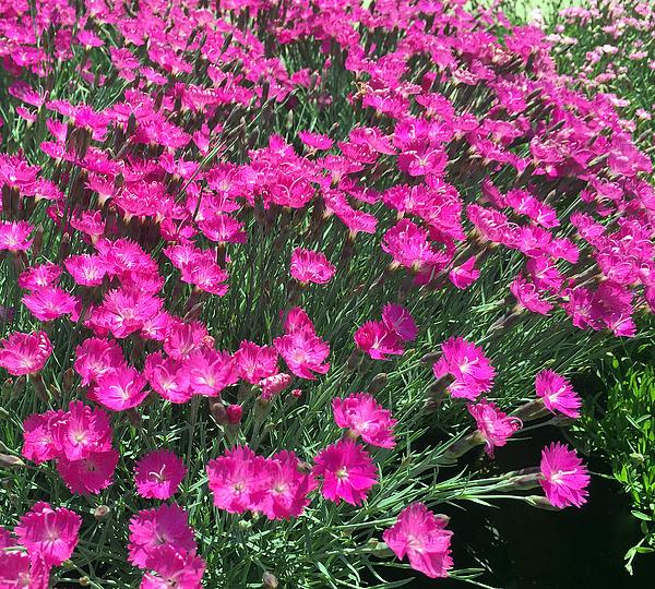 James Pinkerton - Dianthus