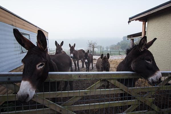 Donkeys Print by Dawn OConnor