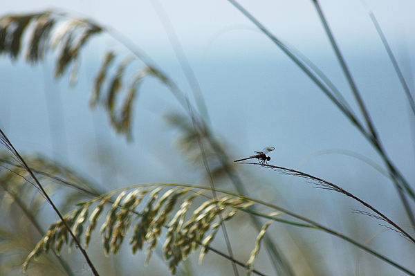 Dragonfly On Sea Oats Print by Robert  Suits Jr