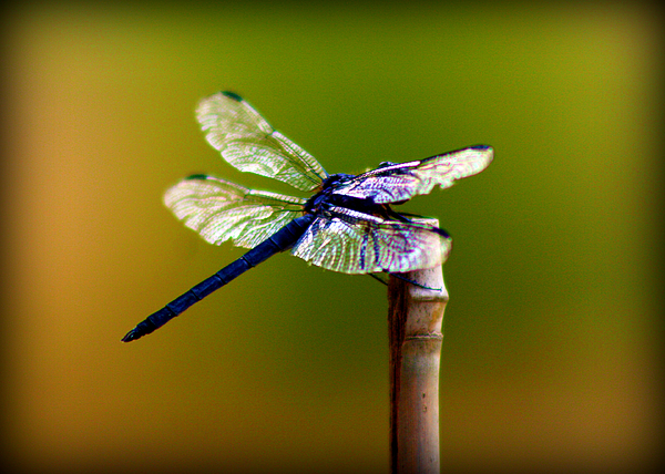 Dragonfly Print by Susie Weaver