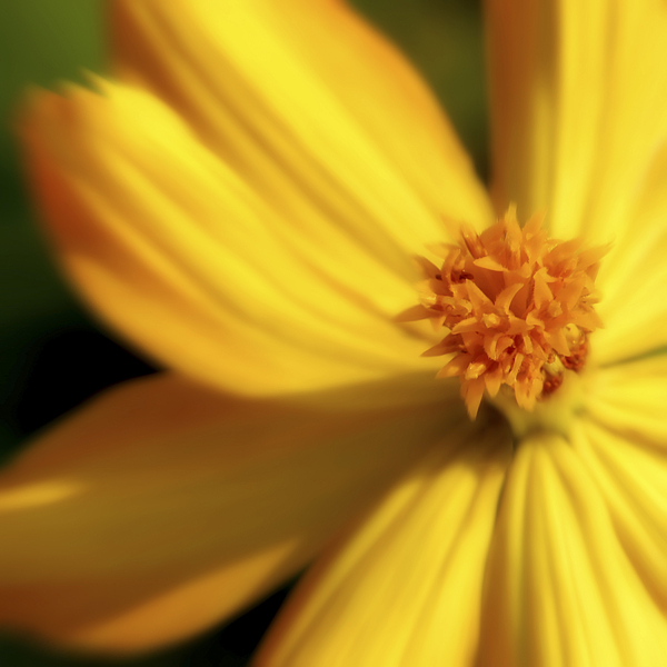 Dreamy Coreopsis Print by Jeannie Burleson