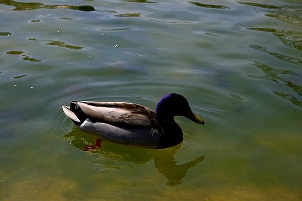 Larry Weingartner - Duck