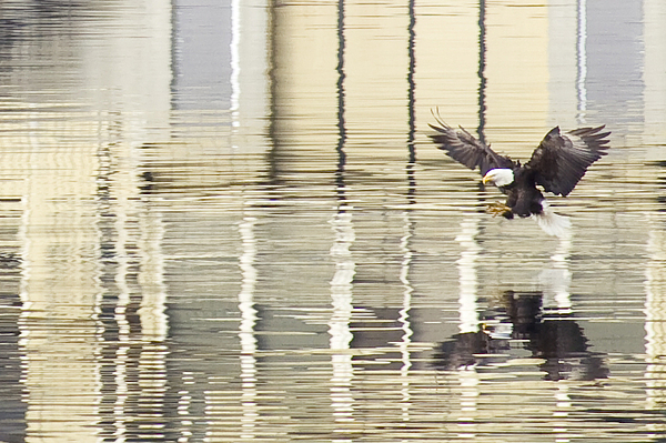 Eagle Abstract Print by Idaho Scenic Images Linda Lantzy