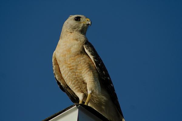 April Wietrecki Green - Eastern Red Shouldered Hawk