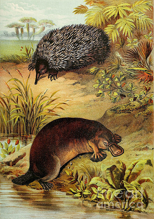 echidna and platypus egglaying mammals by biodiversity