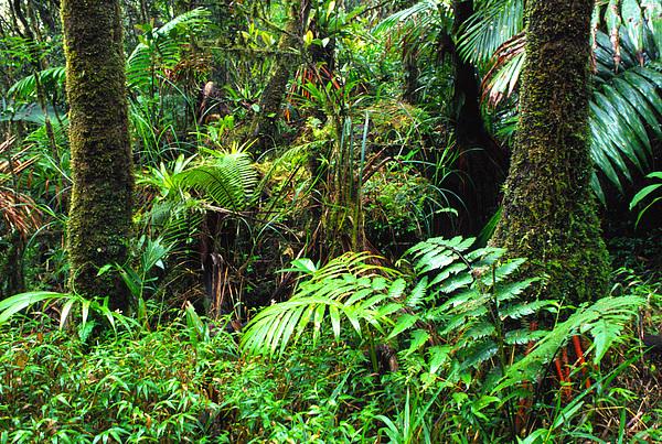 El Yunque Lush Vegetation Print by Thomas R Fletcher