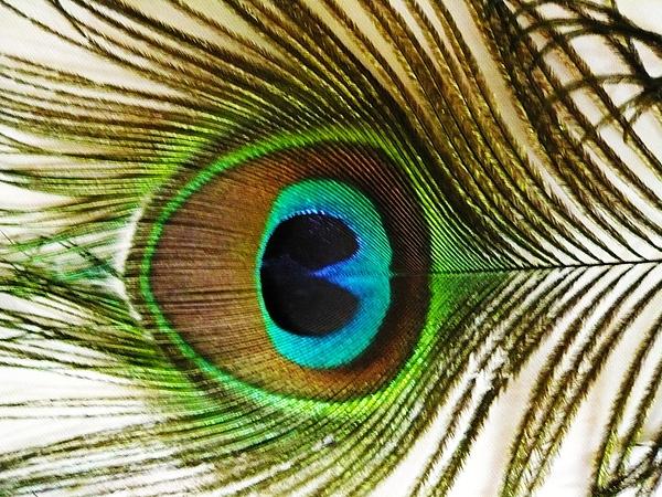 Piety Dsilva - Eye of Peacock