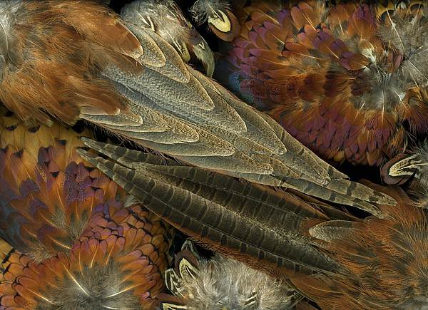 Featherdance Print by Christian Slanec
