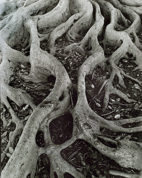 Fig Tree Roots Print by John Gilroy