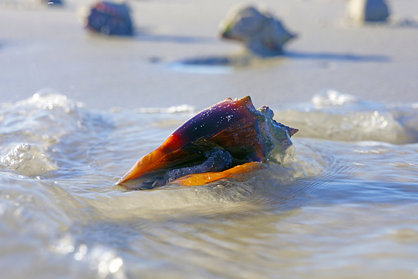 Fighting Conch On Beach By Robb Stan