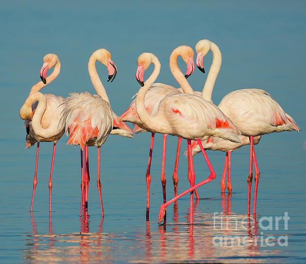 Inge Johnsson - Five Flamingos