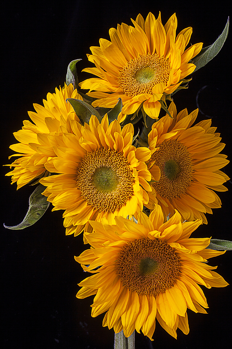 Five Sunflowers Print by Garry Gay