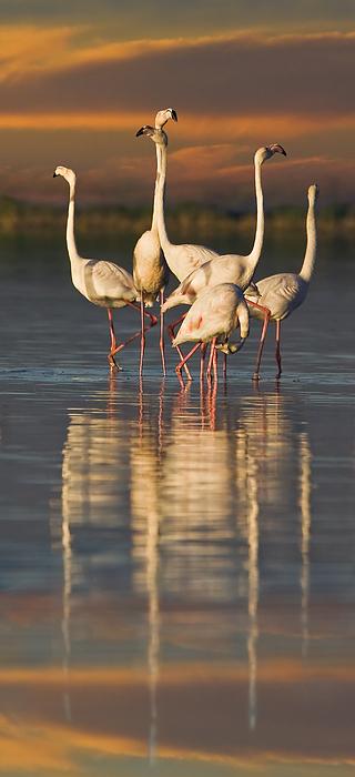 Flamingo Dance Print by Basie Van Zyl