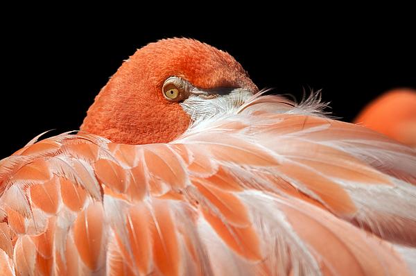 Tam Ryan - Flamingo