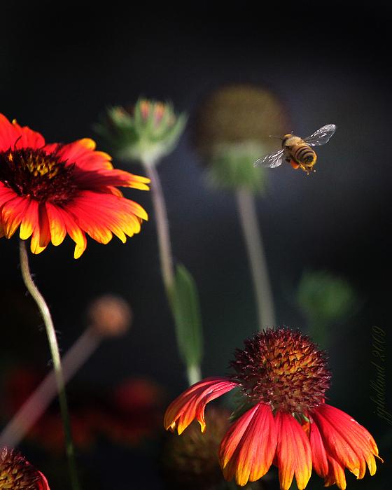 Flight Of A Honey Bee Print by Joseph G Holland