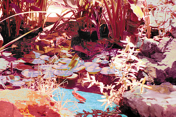 Floating Lilies Pads Above The Koi. Print by Judy Loper