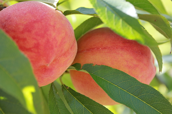 Florida Peaches Print by Marty  Calabrese