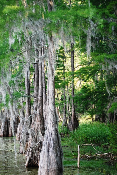 Florida Swamps Print by Peter  McIntosh