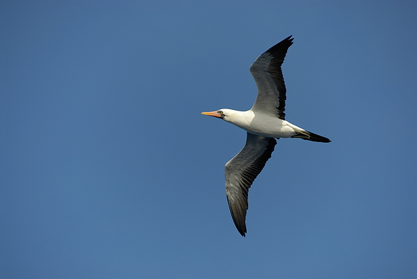 Flying Masked Booby In Flight Print by Sami Sarkis