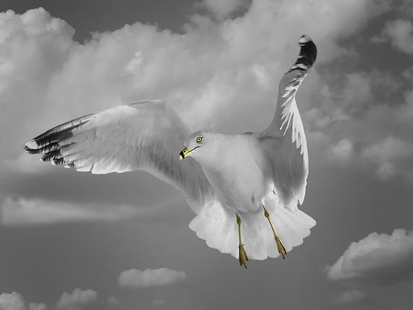 Flying Solo Print by Steven  Michael