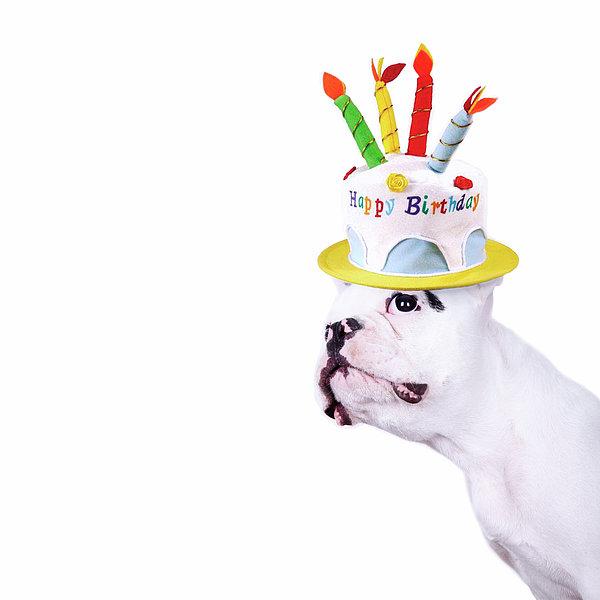 French Bulldog With Birthday Cake Print by Maika 777