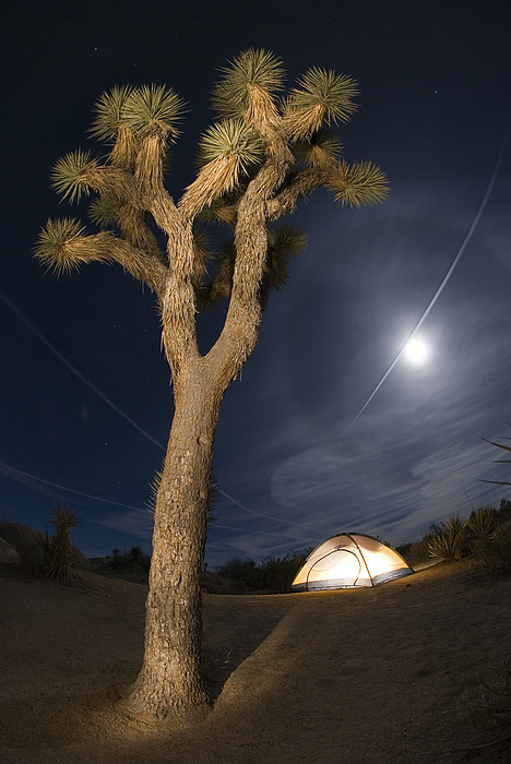 Full Moon Rising Over A Joshua Tree Print by Rich Reid