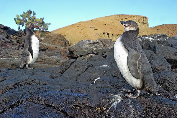 Galapagos Penguins Print by Sami Sarkis