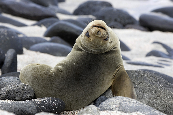 Galapagos Sea Lion Print by David Hosking and Photo Researchers