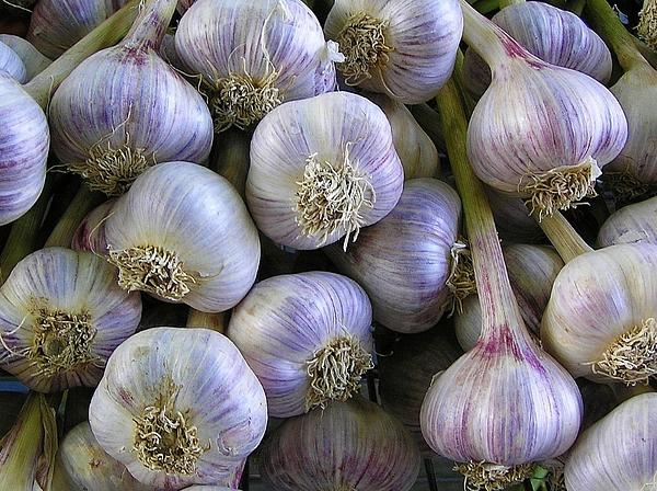 Garlic Bulbs Print by Jen White