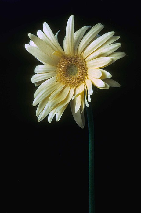 Gerber Daisy Print by Laurie Paci